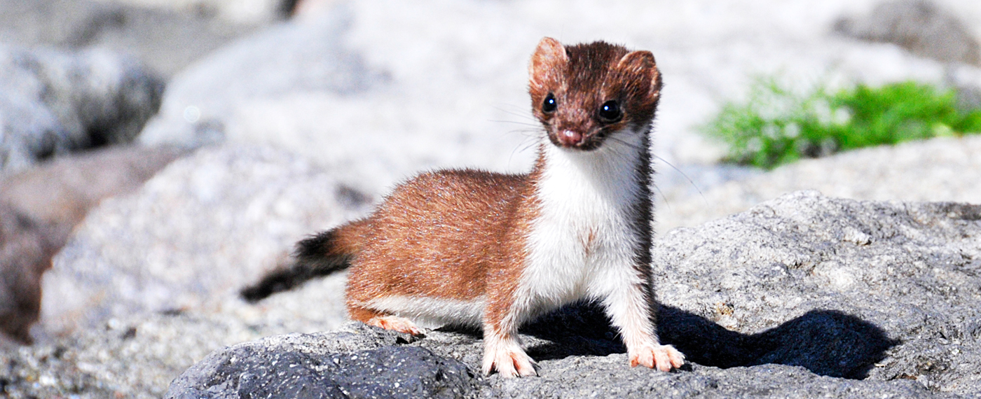 These carnivorous mammals are members of the weasel family.